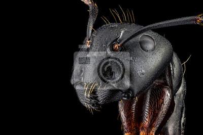 Fototapeta Ekstremalne makra portret mrówki, ostre i szczegółowe, powiększone 4 razy przez cel mikroskopu. Szerokość ramy wynosi 5 mm.