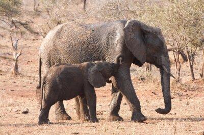 Fototapeta Elephant krowa i cielę chodzenie w buszu w Afryce