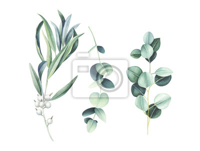 Eucalyptus and wild olive branches isolated on white. Watercolor illustration.