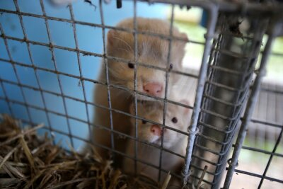Fototapeta European mink cage grown on a farm for fur. Lithuania