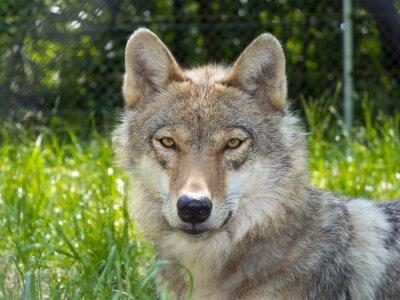 Fototapeta Europejski wilk (Canis lupus lupus)