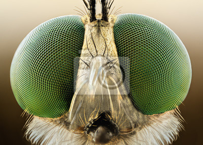 Fototapeta Extreme sharp and detailed macro of robber fly