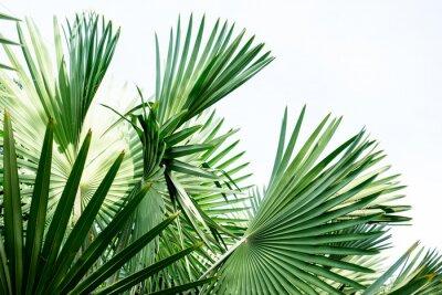 Fototapeta Fani Fidżi dłoni