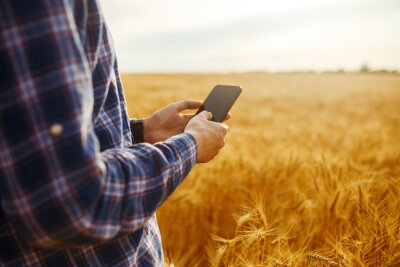 Fototapeta Farmer Checking Wheat Field Progress, Holding Phone and Using Internet .Copy Space Of The Setting Sun Rays On Horizon In Rural Meadow. Close Up Nature Photo Idea Of A Rich Harvest