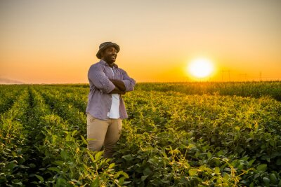 Fototapeta Farmer is standing in his growing soybean field. He is satisfied because of good progress of plants.