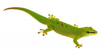 Fototapeta Felsuma Madagaskarska - Gecko izolowana na białym tle