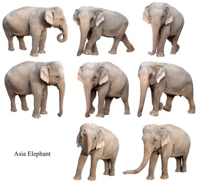 Fototapeta female asia elephant isolated