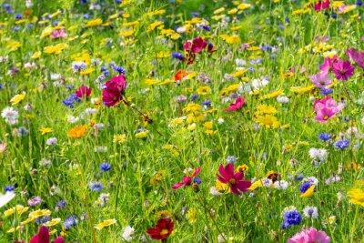 Fototapeta field of colorful, wild flowers