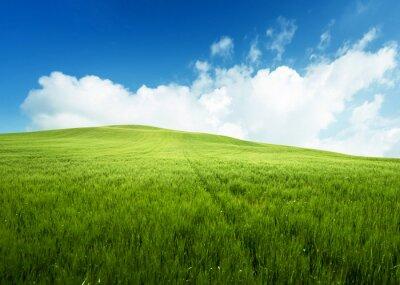 Fototapeta field of grass and perfect blue sky