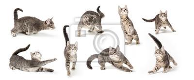 Fototapeta Figlarny śliczny Szary kotek w różnych pozycjach