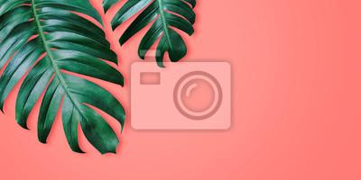 Fototapeta Filodendronu tropikalni liście na koralowego koloru tła minimalnym lecie