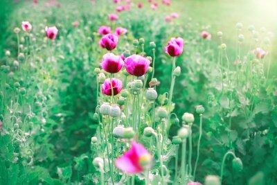 Fototapeta Fioletowe kwiaty maku