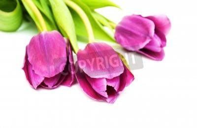 Fototapeta fioletowy kolorowe kwiaty tulipanów na białym tle