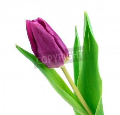 Fototapeta fioletowy tulipan wyizolowanych na białym tle
