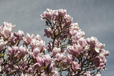 Fototapeta Fiori magnolia 2