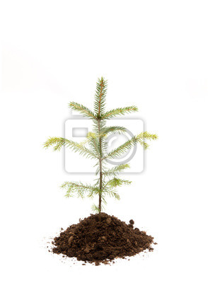 Fototapeta Fir tree in pile of soil isolated on white, studio shot. Planting new spruce trees in forest. Environmentally friendly lifestyle and renewing forest concept. Lot of copy space.