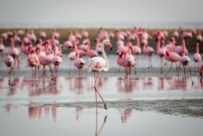 Fototapeta Flamingi w Wallis Bay, Namibia, Afryka