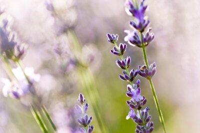 Fototapeta Fleur Lavande - kwiat lawendy