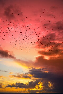 Fototapeta flocks of starlings flying into a red yellow sunset sky
