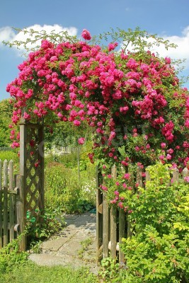 Fototapeta Flourishing red rambler rose on an arched entrance to the garden