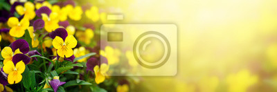 Fototapeta Flowering purple pansies in the garden in sunny day. Natural summer background with soft blurred focus.