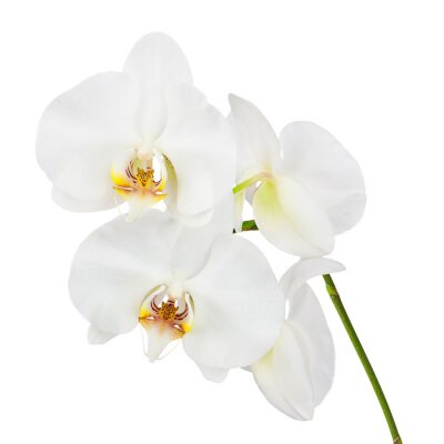 Fototapeta Flowers orchids isolated on white background.