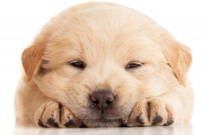 Fototapeta Fluffy Puppy Chow-Chow, samodzielnie przez biały
