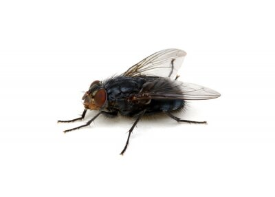 fly on a white background