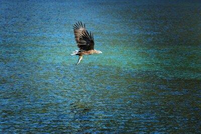 Fototapeta Flying Eagle, trzymając złowionego dorsza.