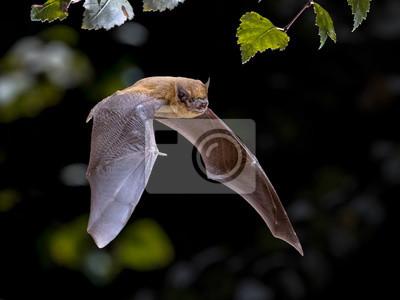 Fototapeta Flying Pipistrelle bat iin natural forest background