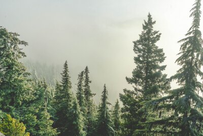 Fototapeta Fog surrounding trees on mountainside