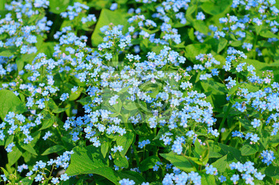Fototapeta Forget-me-not kwiaty