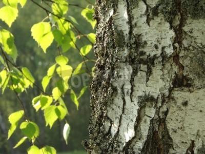 Fototapeta Fragment z pnia brzozy drzewa z liści w tle