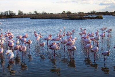 Fototapeta Francia, Camargue, Saintes-Maries-de-la-Mer, fenicotteri rosa in uno stagno.