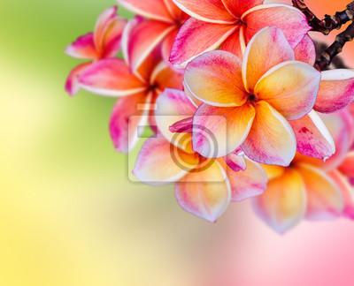 Frangipani Plumeria kwiaty granicy projektu