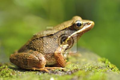 Fototapeta frog