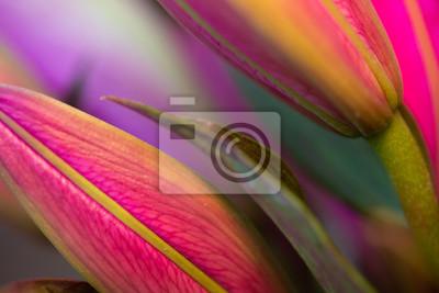 Fototapeta Fuksja azjatycka lillies, makro