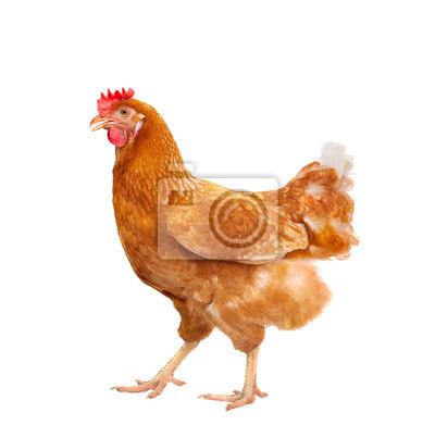 Fototapeta full body of brown chicken hen standing isolated white backgroun