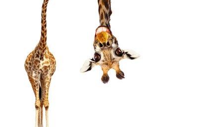 Fototapeta Fun cute upside down portrait of giraffe on white