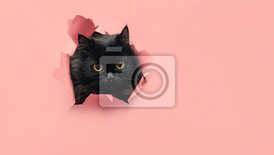 Fototapeta Funny black cat looks through ripped hole in pink paper. Peekaboo. Naughty pets and mischievous domestic animals. Copy space. Yellow eyes.