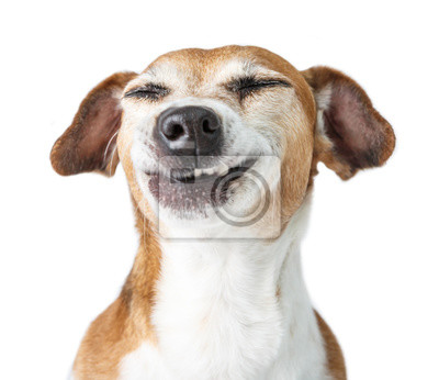 Fototapeta Funny dog disgust, denial, disagreement face. Don't like that. grins  teeth pet. White background
