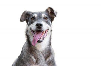 Fototapeta Funny dog isolated on  white