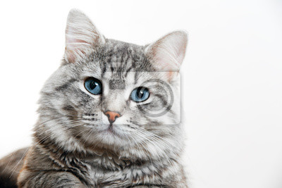 Fototapeta Funny large longhair gray tabby cute kitten with beautiful blue eyes. Pets and lifestyle concept. Lovely fluffy cat on grey background.