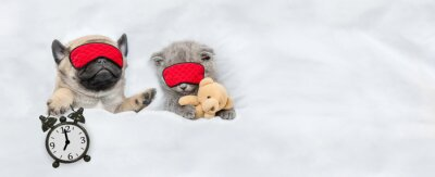 Fototapeta Funny Pug puppy and tiny kitten sleep in sleeping masks under white blanket at home. Pug puppy holds alarm clock. Top down view. Empty space for text