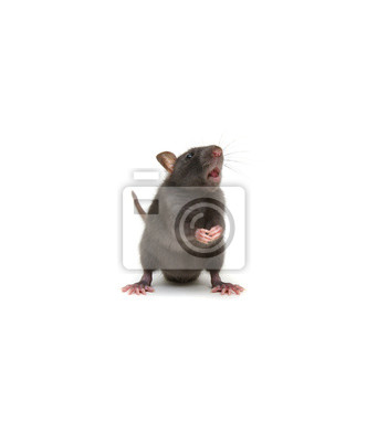 funny rat isolated on white