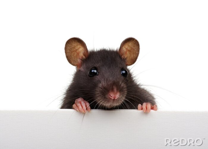 Fototapeta Funny rat isolated on white background.
