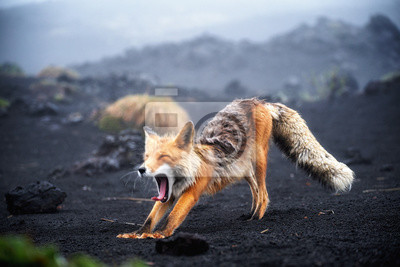 Fototapeta Funny red fox stretches. Concept - funny animals in the wild
