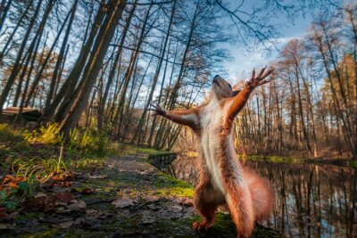 Fototapeta Funny red squirrell standing in the forest like Master of the Universe.