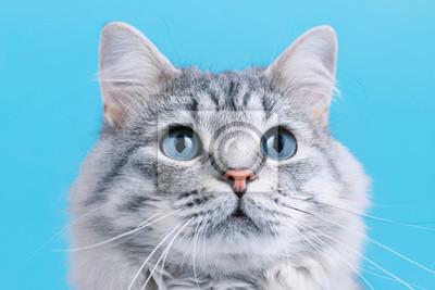 Fototapeta Funny smiling gray tabby cute kitten with blue eyes. Portrait of lovely fluffy cat.
