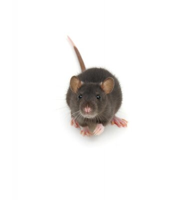 Funny young rat isolated on white.